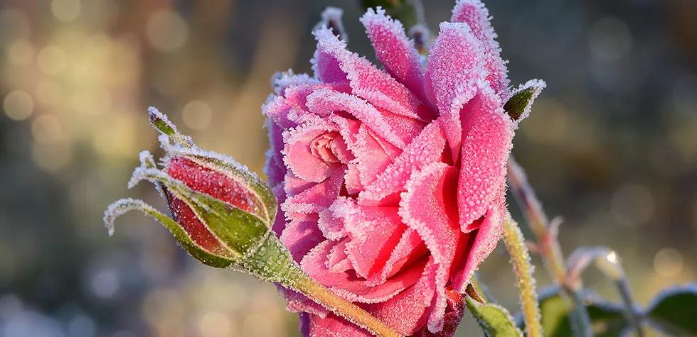 想要月季安全过冬开花翻倍?这份过冬攻略请查收