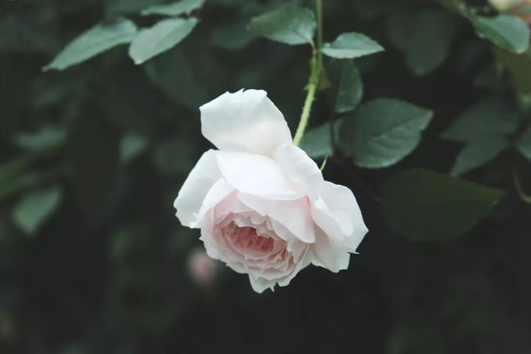 想要月季花朵大又花期长,抹它!