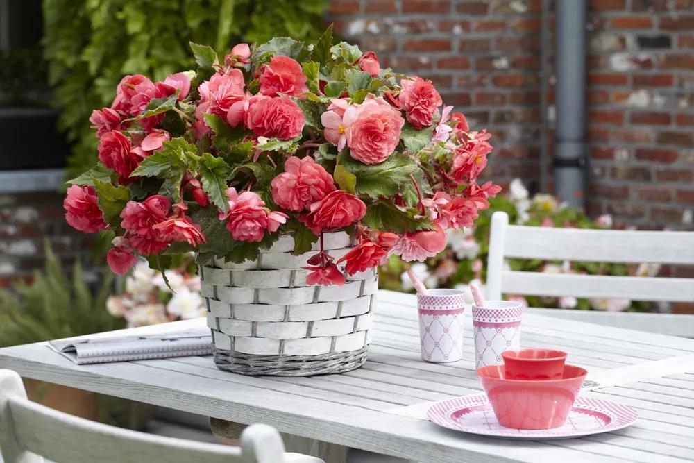 形如牡丹,花似月季:球根海棠的选品与养护