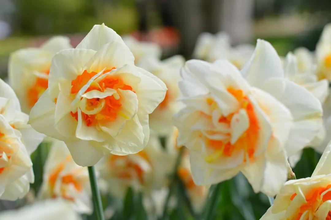 一起来为春天做打算,种一片洋水仙吧 | 球根花卉超好种▪问答篇第4期