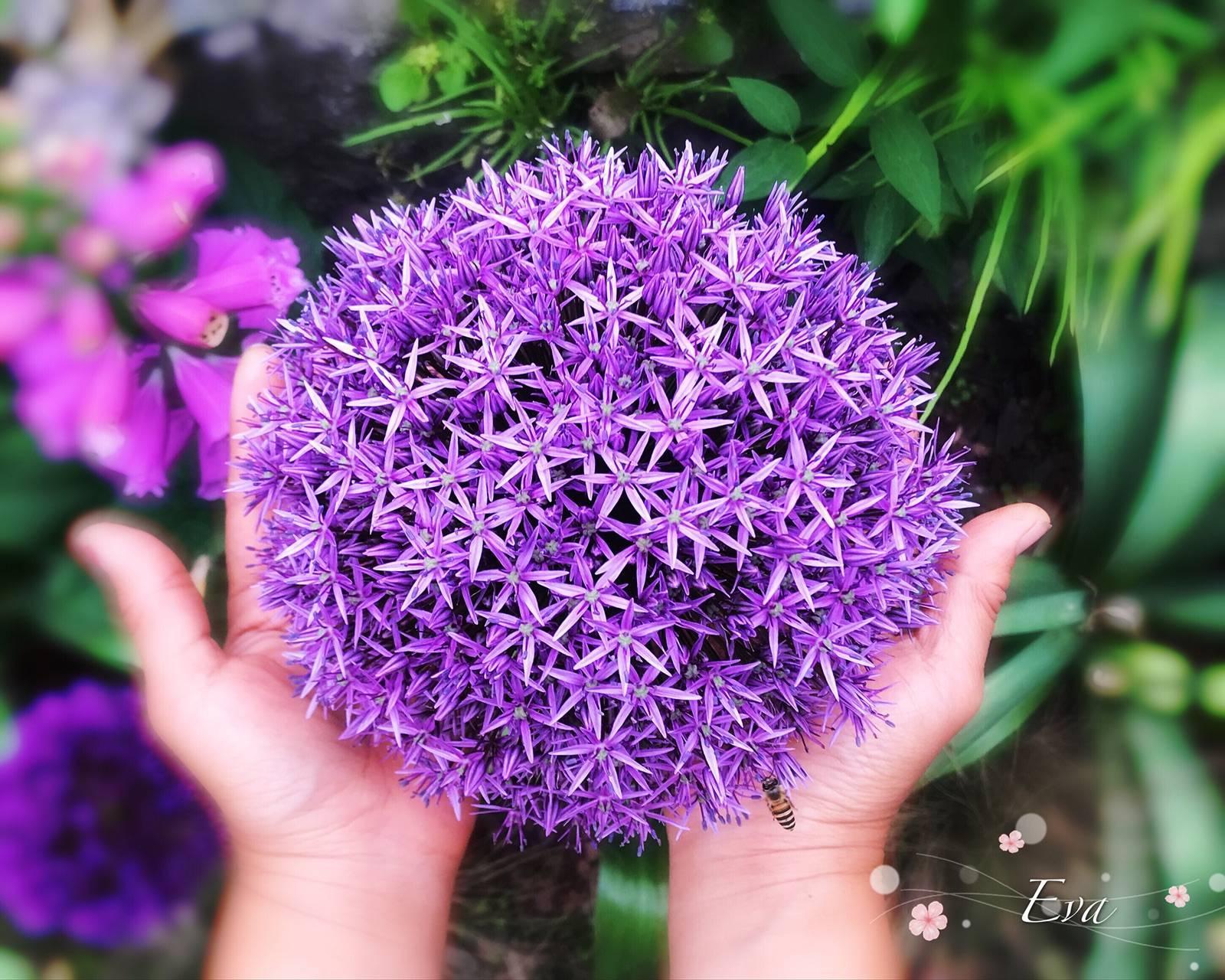 关于大花葱,你想知道的都在这 | 球根花卉超好种·问答篇第1期
