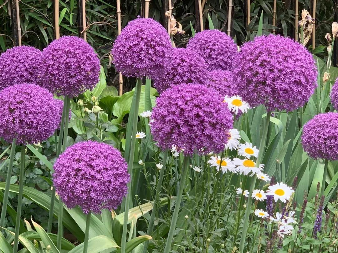 我在花园种了100棵大花葱,年复一年美如初见