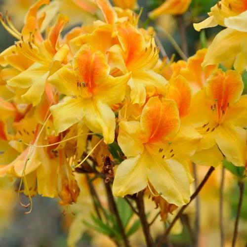 南北通吃的落叶杜鹃,一棵就能撑起一整个花园的美丽