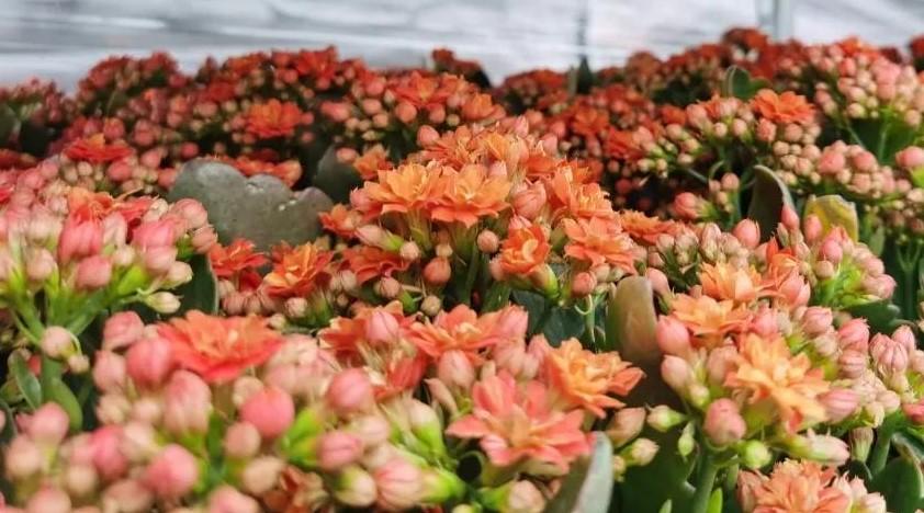 园艺小讲堂丨花开正旺的长寿花养护技巧