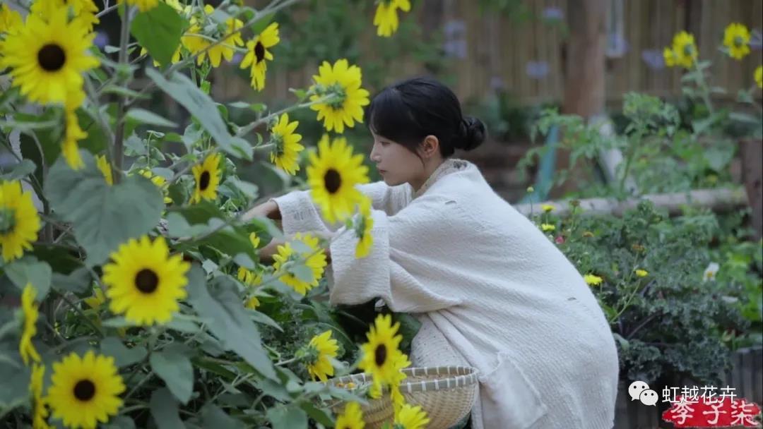 李子柒的向日葵,竟然是之前全网卖断货的它?