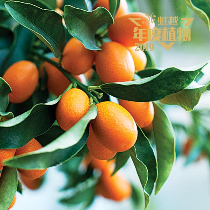 脆皮金桔'橙果'
