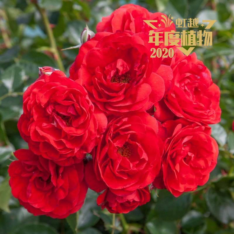 虹越 月季'深圳红'