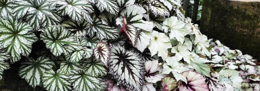 若你喜欢观叶,其实她很美 | 园艺百科·秋海棠