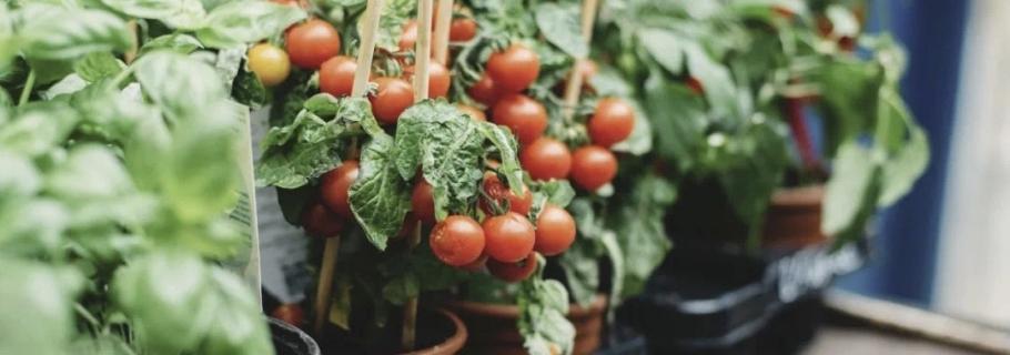 阳台种上一棵小番茄,在家收获向往的生活
