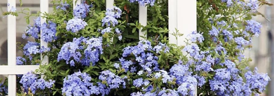 神仙颜值的开花劳模,送你一个蓝色的清凉夏天